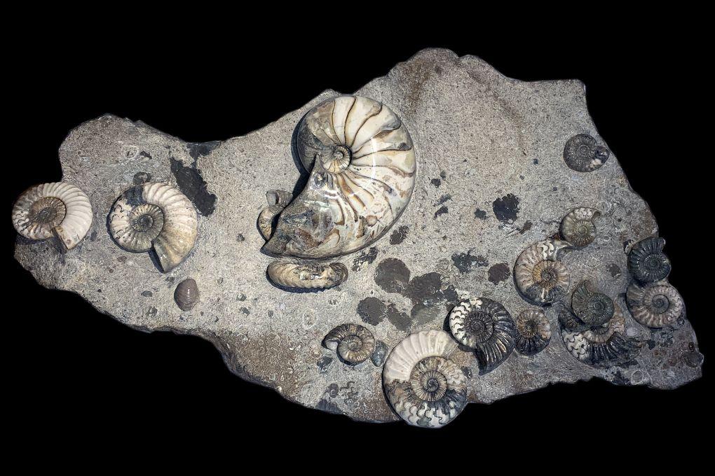 Stufe mit 15 Ammoniten Asteroceras sp und 1 Nautilus, Jurassic, Lower Lias, Obtusum Zone, Frodingham Ironstone, 200 Millionen Jahre alt, Breite 92cm