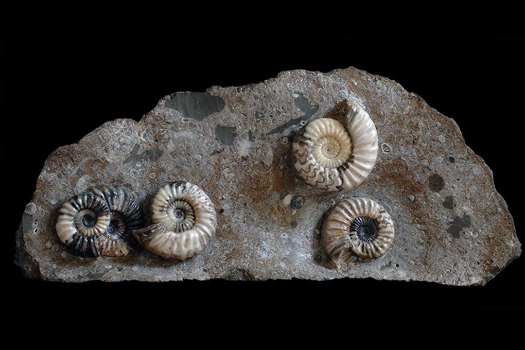 Stufe mit 5 Ammoniten Asteroceras sp, Jurassic, Lower Lias, Obtusum Zone, Frodingham Ironstone, 200 Millionen Jahre alt