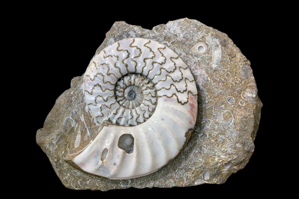 Ammonit Asteroceras sp, Jurassic, Lower Lias, Obtusum Zone, Frodingham Ironstone, 200 Millionen Jahre alt, Durchmesser 18cm