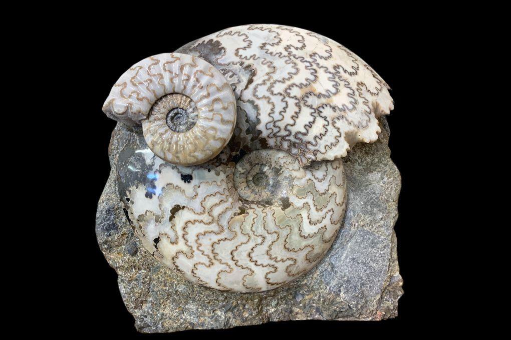 Ammonit Eparietites sp., Jurassic, Lower Lias, Obtusum Zone, Frodingham Ironstone, 200 Millionen Jahre alt
