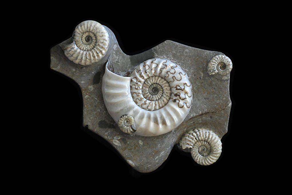 Stufe mit 5 Ammoniten Asteroceras sp, Jurassic, Lower Lias, Obtusum Zone, Frodingham Ironstone, 200 Millionen Jahre alt, grösster Durchmesser der Platte 47cm